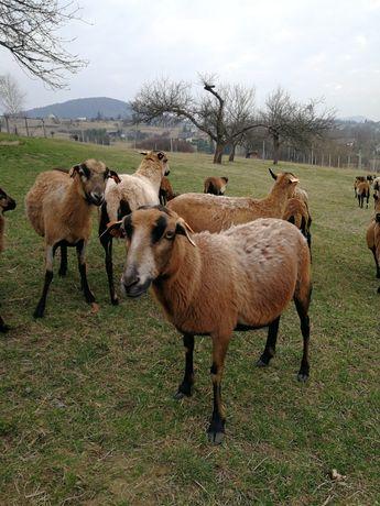 Owce kameruńskie, owieczki