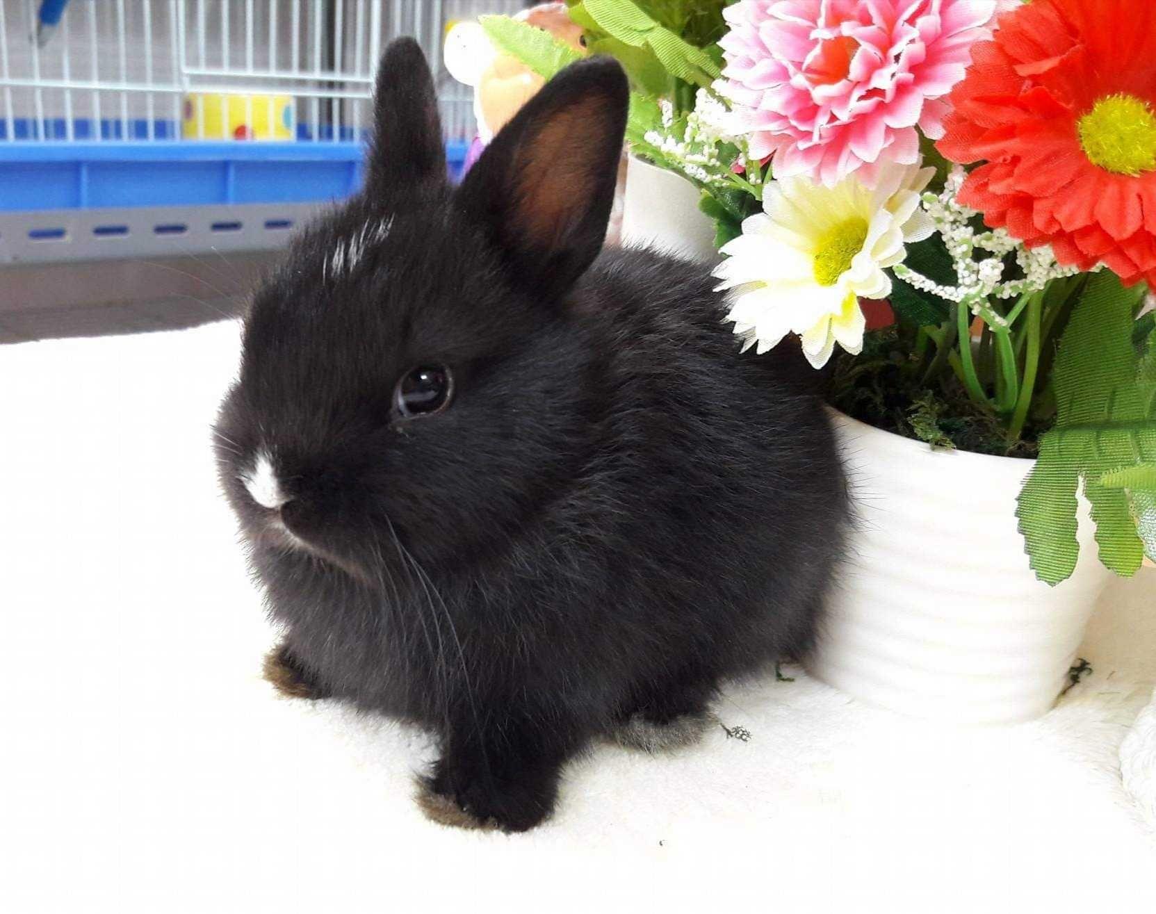 KIT completo coelhos anões mini, várias cores