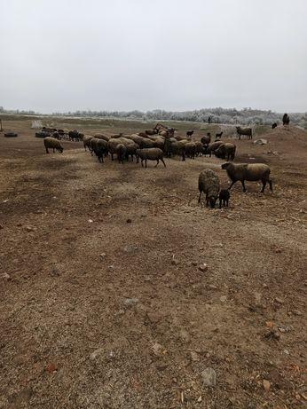 Продам овец (живым весом)