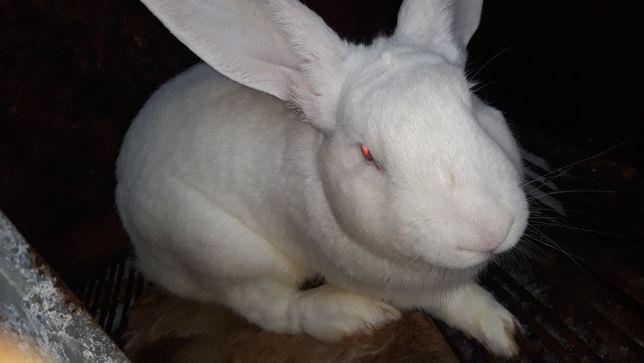 Кролики на розвід і на мясо термони