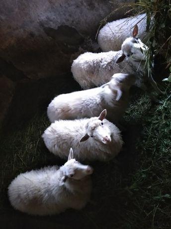 Продам вівці молоді