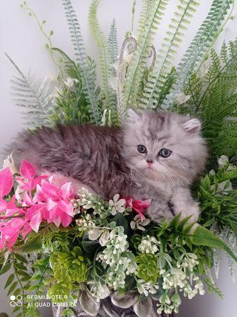 Kot perski, kocięta perskie pers SZYNSZYLOWY