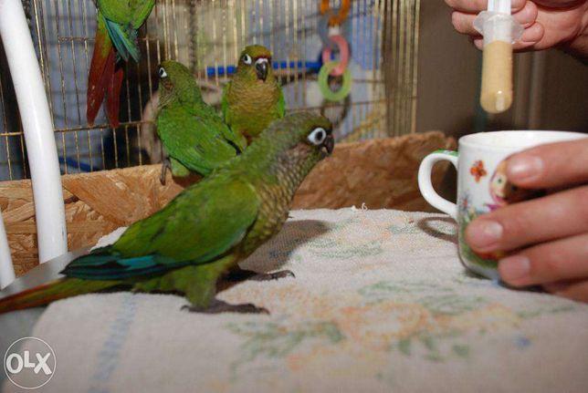 Буровухий Піррура, Папужки Піррура - ліпший говорун, повнісю ручні