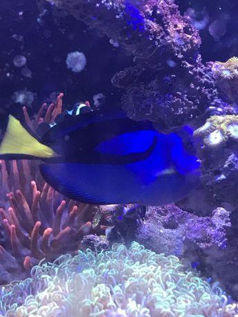 Hepatus akwarium morskie