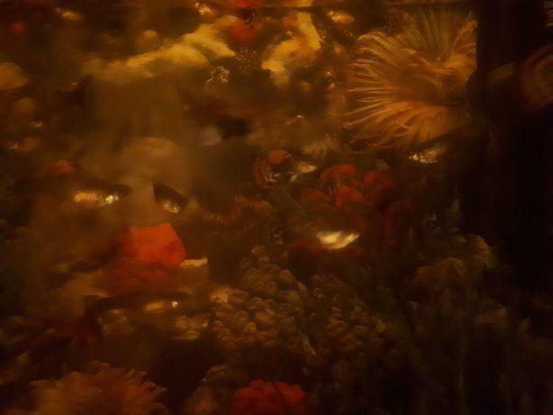 Gupiki rybki