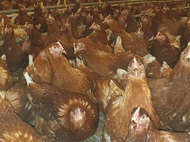 Młode kury nioski -21 tygodni- znoszą jajka