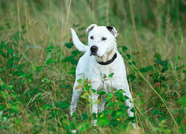Piękny biały pies w typie amstaffa do adopcji