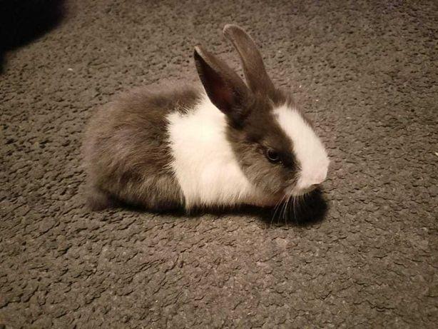 Na sprzedaż króliczek miniaturka 8 szt.