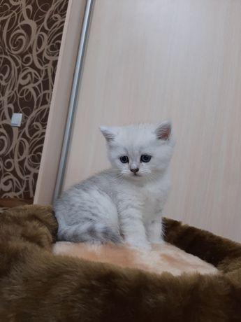 Котята британской шиншиллы