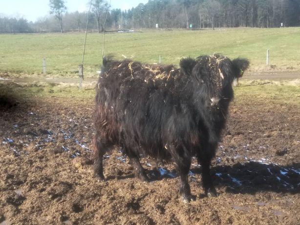 sprzedam jałówki highland cattle galloway szkoty cielna