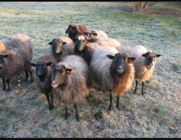 Owce Wrzosówka