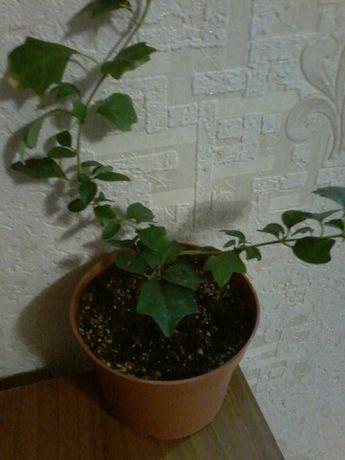 Очень редкое растение Гмелина Карликовая