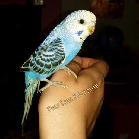 Хвилястий папуга ручний молоденький.  Є вибір)))
