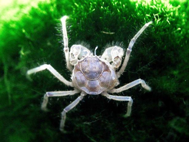 Mikro krab - Limnopilos naiyanetri. Cetarius