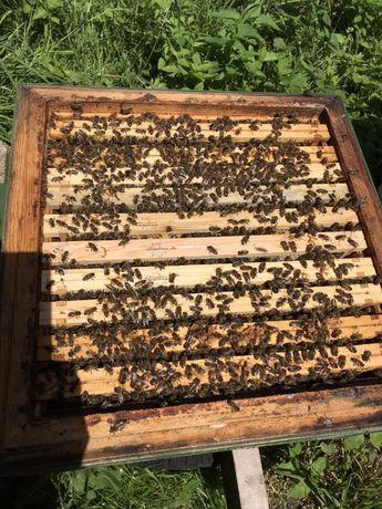 Rodziny pszczele wielkopolskie