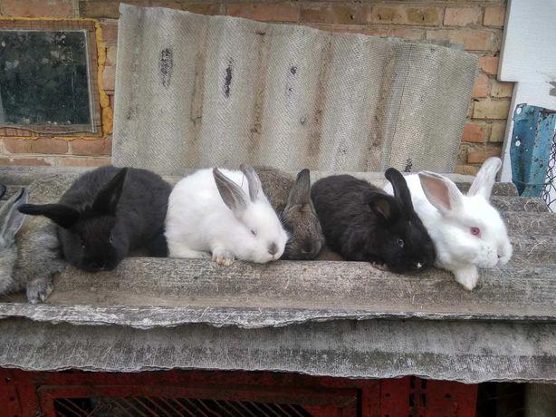 кролів породи нзб + простяк