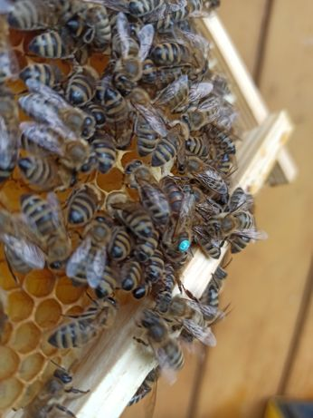 Matka pszczela sklenar g-10