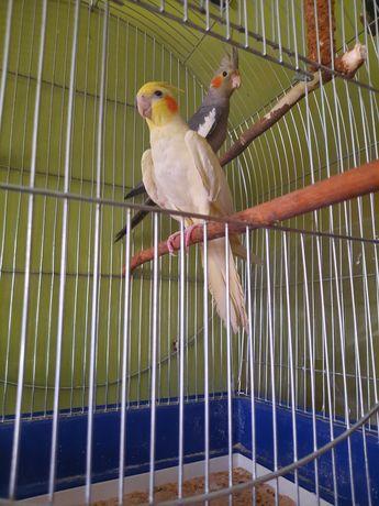 Nimfy papugi ptaki