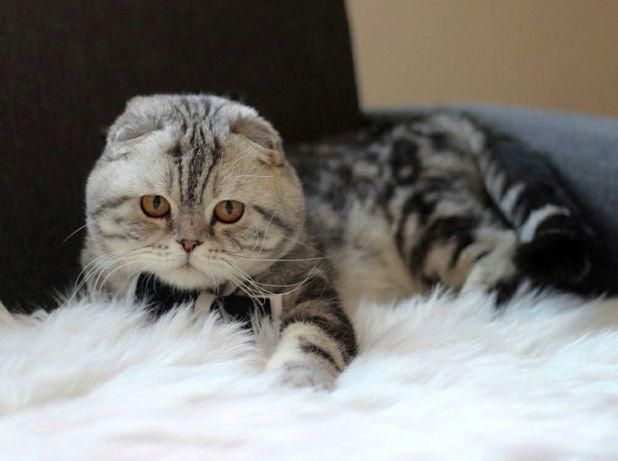 Фантастический Шотландский вислоухий кот приглашает на вязку