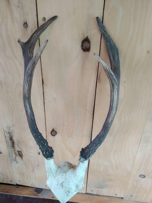 Роги карпатського оленя Сколе - изображение 1