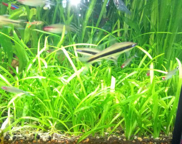 Strzałka Skrzydlasta (SAGITTARIA SUBULATA) - Rośliny akwariowe