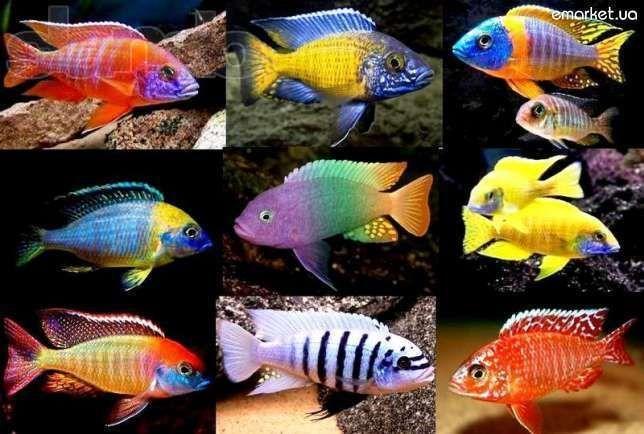 Большой выбор Африканских Малавийских Цихлид Аквариумные Рыбы