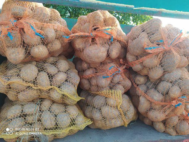 Ziemniaki jadalne Wineta