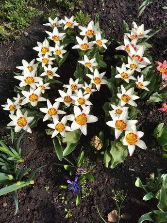 Тюльпан раннего срока цветения