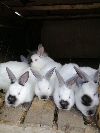 Кролики Каліфорнія, шиншила, срібляки