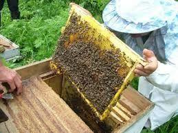 Продам пчелопакеты карпаткв