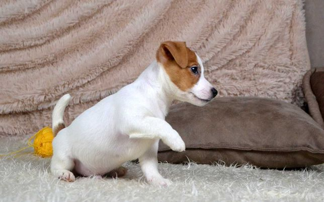 Щенки джек рассел терьера (мальчик) 2,5 месяца
