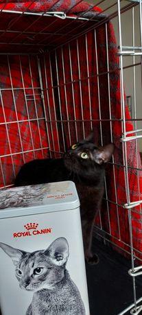 Черная кошка Бъянка
