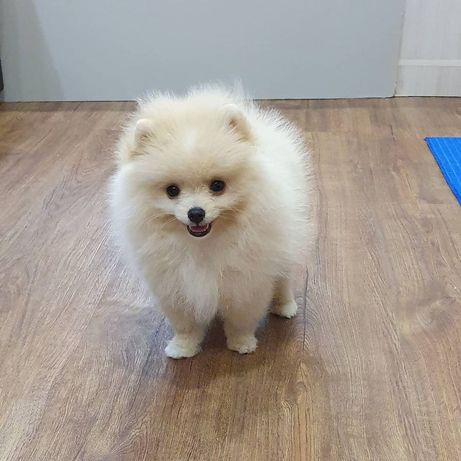 Милые щенки померанского-шпица!!!