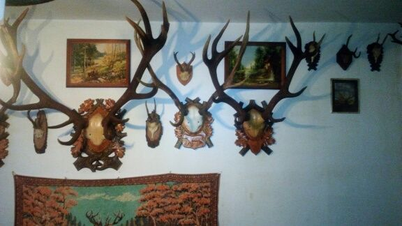 Poroże jelenia cena za parę
