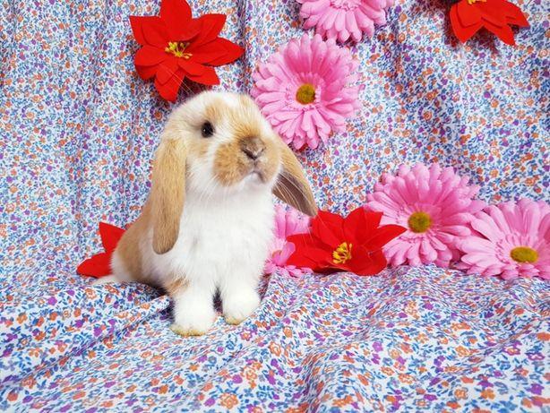 Królik baranek miniaturowy króliki baranki miniaturka