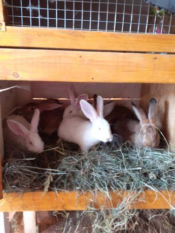 Sprzedam króliki mieszane 6szt zadbane