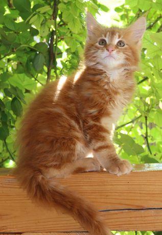 Рыжие котики Мейн куны
