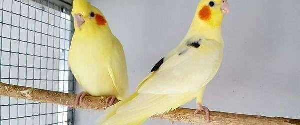 Корелла-попугаи и клетки