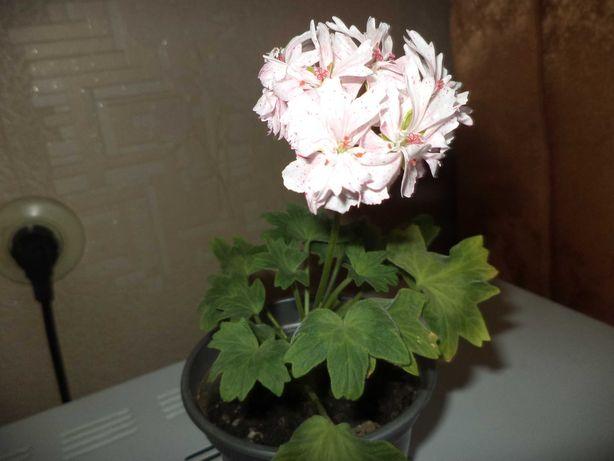 пеларгония цветущая карликовая звездчатая  Rockley 120 руб.