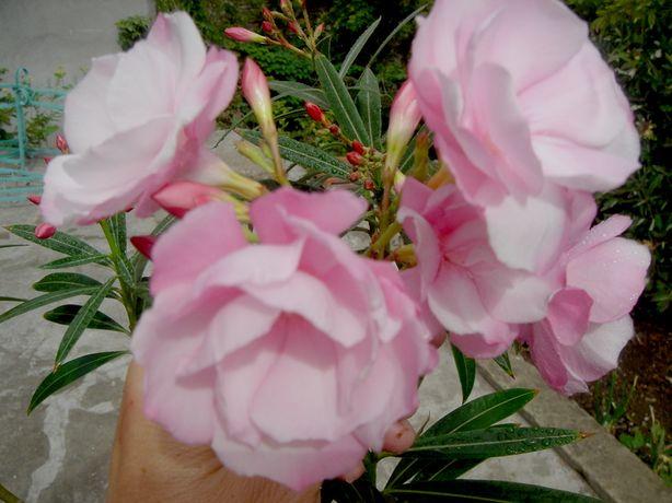 Oлеандр (лат. Nerium) средиземноморский розовый