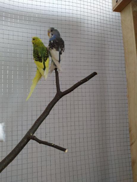 Papugi Faliste 2 sztuki.. Klatka na papugi.. Sprzedam