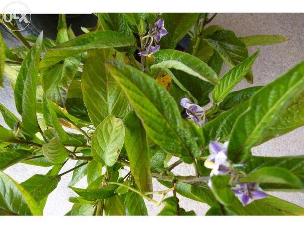 Planta Pera meloas