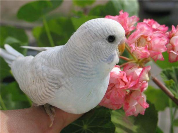 Волнистый попугай,Корелла.