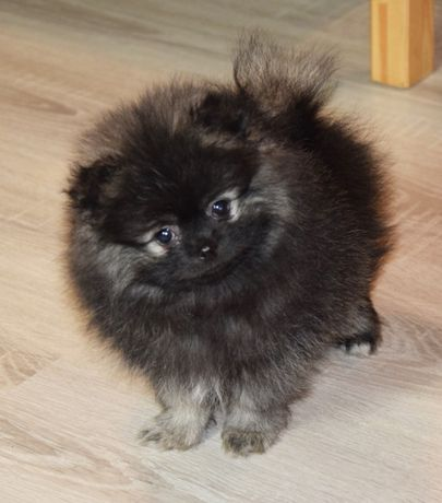 Piesek Pomeranian czeka na kochający dom :-)