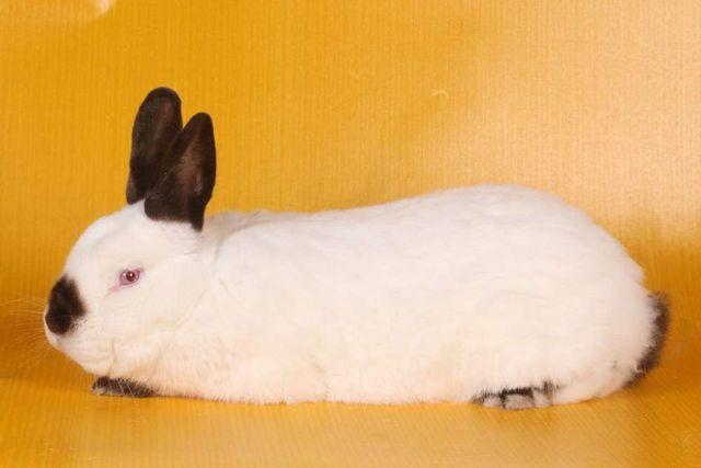Króliki kalifornijski królik na wiosnę pogotowie