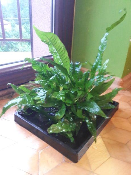 Microsorium - roślina akwariowa