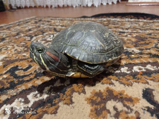 Продам большую красноухою черепаху