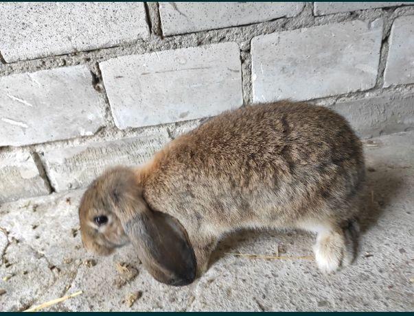 Królik króliki Baran francuski samica szara
