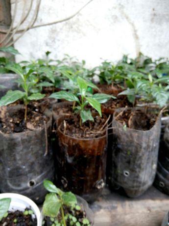 саженцы кофейного дерева