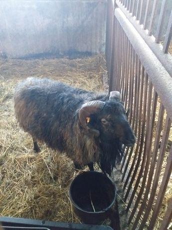 Tryk owca wrzosówka